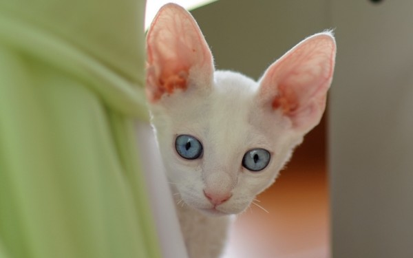 cute-little-white-kitten-1920x1200