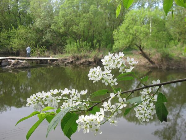 Фото черемуха у реки