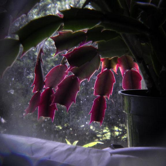 6-6-12 xmas cactus holga