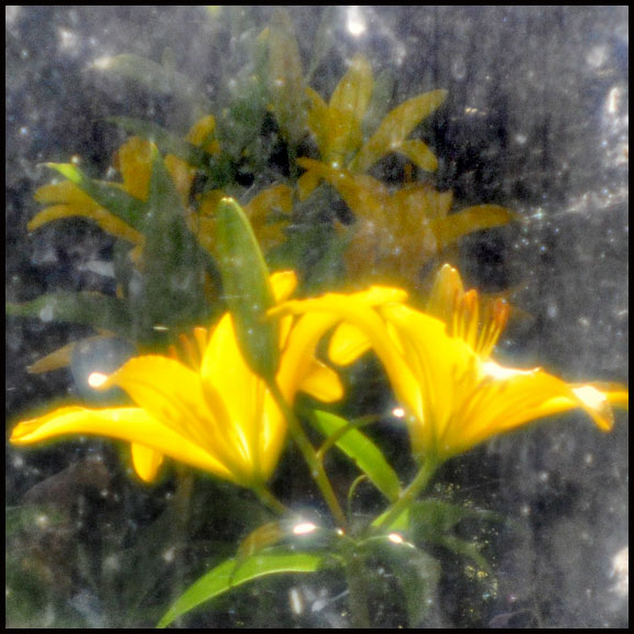 6-27-12-yellow-lilies-dirty