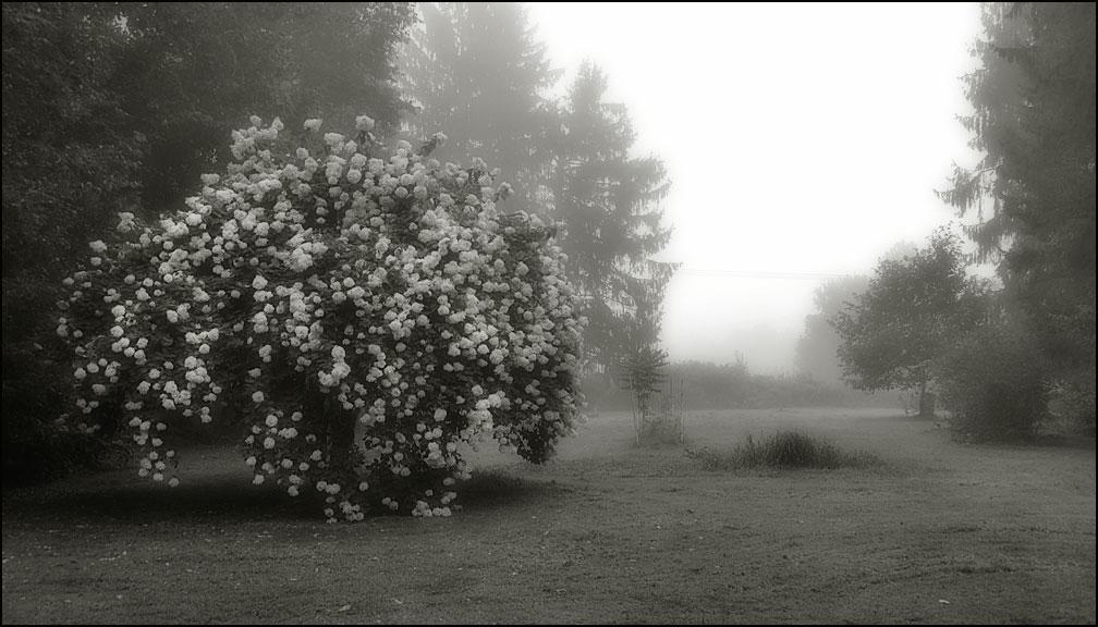 hydrangea-8-27-12-fog