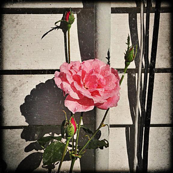rose 8-28-12 haggid