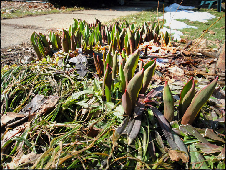 tulips-3-29-13framed