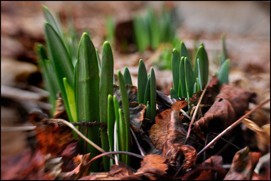 daffodills-4-8-14-lensbaby2