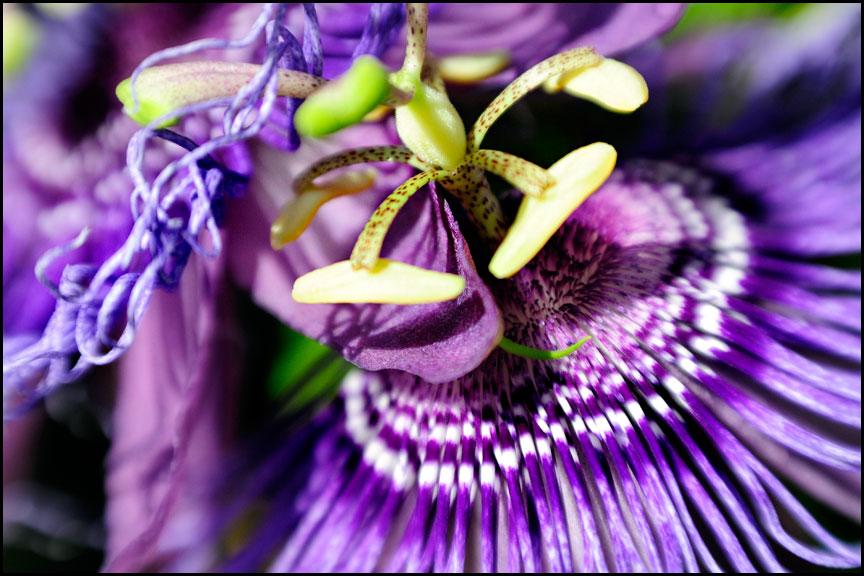passion-flower-8-13-14