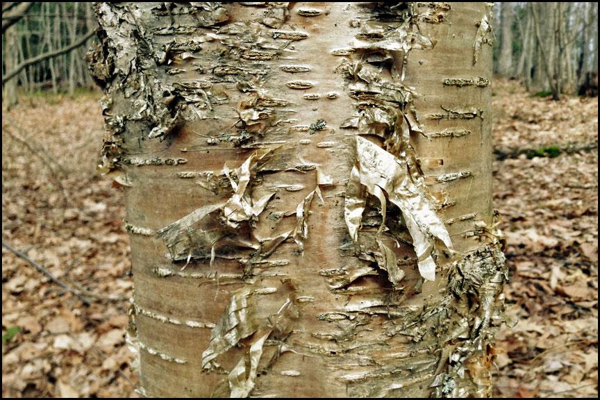 4-6-15-yellow-birch
