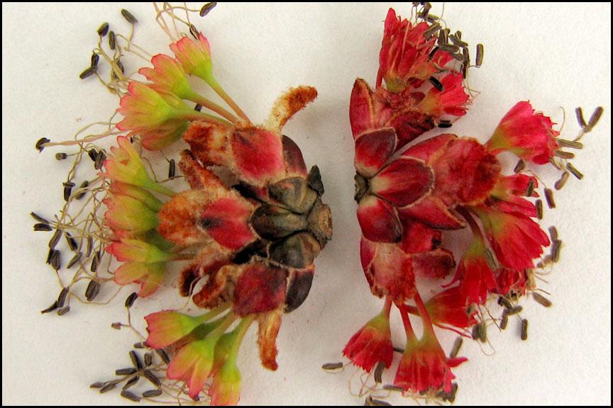 maple-flowers-4-20-15