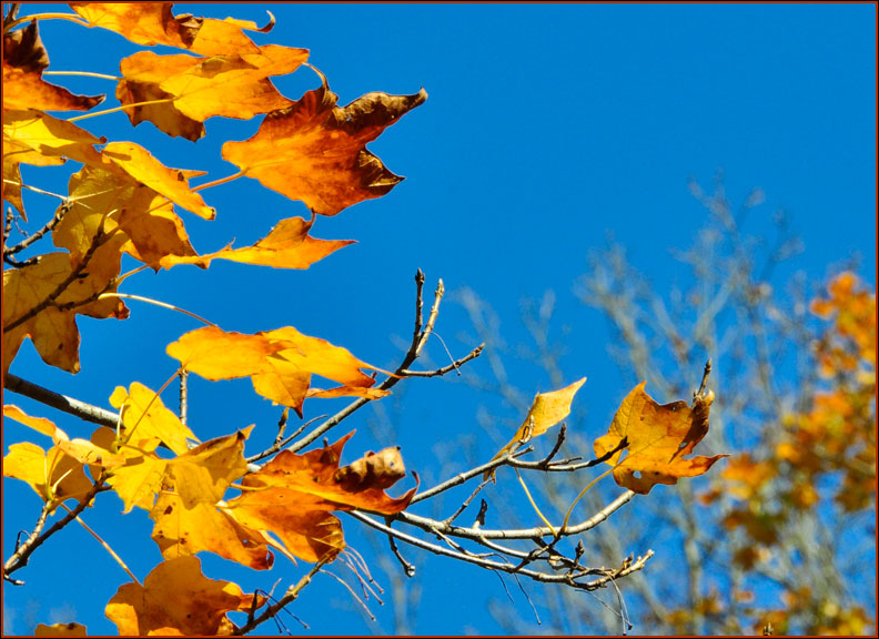 maple-leaves-10-19-15bluesky