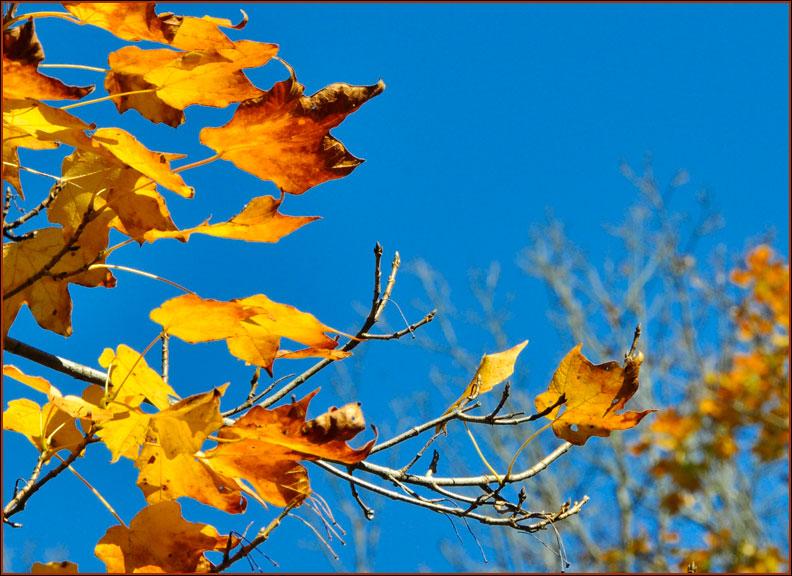 maple-leaves-10-19-15bluesky