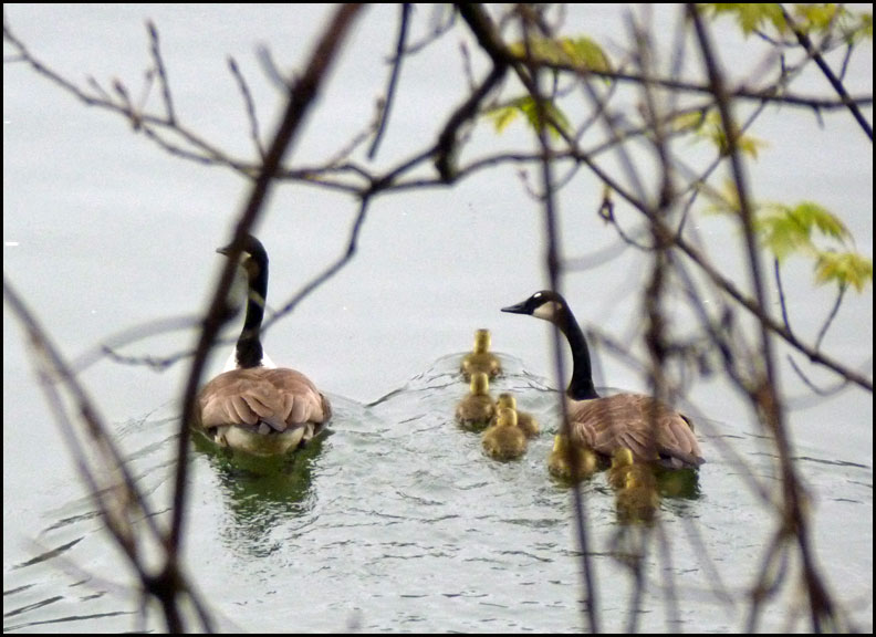 canada-geese-family-allegheny-river-5-2-16