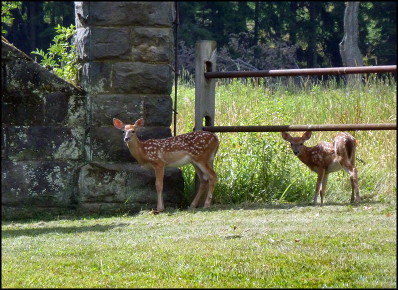 P1030412-fawns-6-29-16
