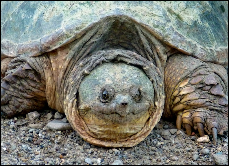 snapping-turtle-7-1-16