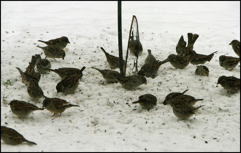 sparrows-12-11-16