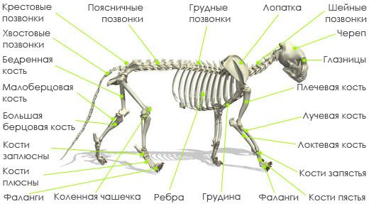 anatomiya-koshki