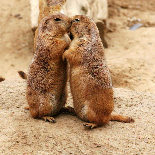prairie-dog-kiss