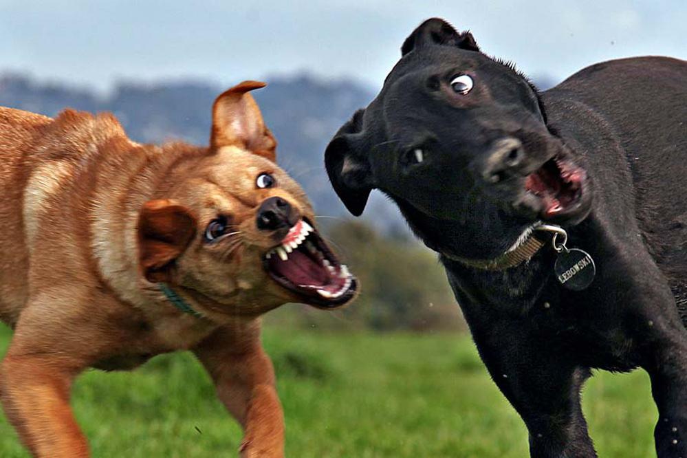 картинки маленьких злых собак