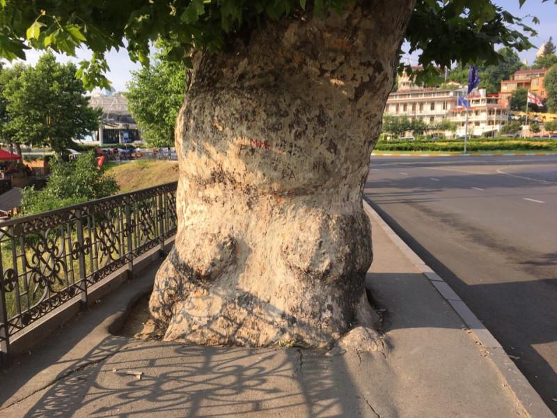 """Платан. (Малхаз не знает никакого платана, сказал, чьто это """"чинар"""". Ещё сказал, что бесполезное дерево, только воду забирает из земли)."""