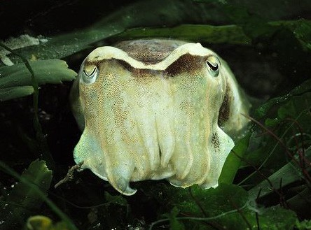 Common-cuttlefish