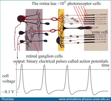 retinal_anatomy