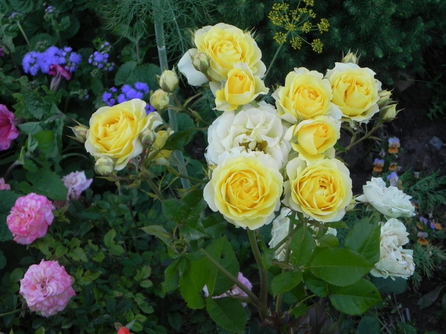 01 Yellow roses 2014-07-28 19-12-48