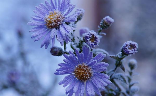 Фото синие цветы в инее 199