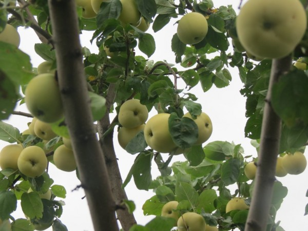 Яблоки 1