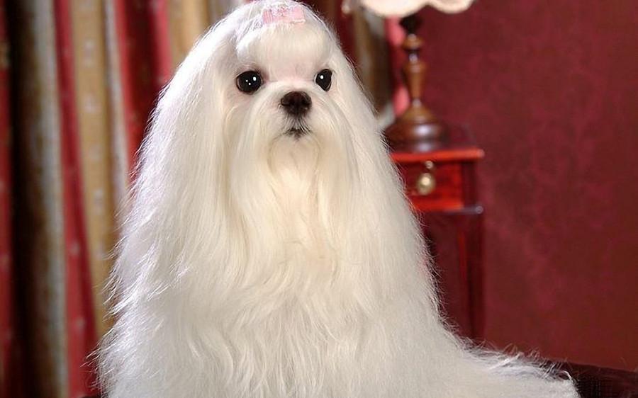 white-maltese-dog_72687-1920x1200