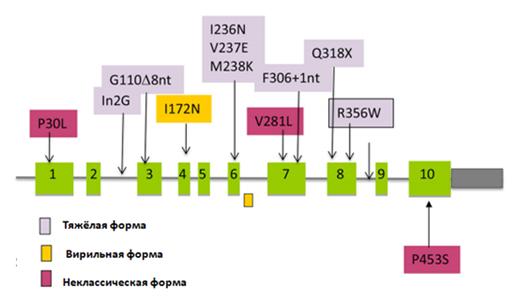 Кодирующая часть гена CYP21A2 гена находится в десяти экзонах (зелёные  прямоугольники с обозначением номера экзона). Участки гена между экзонами это интроны. Место нахождения мутаций указано стрелками, а название самой мутации в прямоугольнике над стрелкой