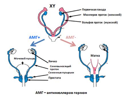 При отсутсвии действия антимюллерова гормона (АМГ-)  у плода мужского пола формируется рудиментарная матка с фалопиевыми трубами