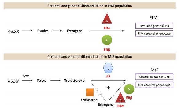 Рис.2    Feminine gonadal sex  - гонады женского пола (яичники); Masculine gonadal sex - гонады мужского пола (яички); Cerebral phenotype – фенотип мозга