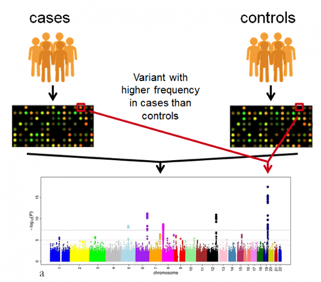 https://www.ebi.ac.uk/training/online/courses/gwas-catalogue-exploring-snp-trait-associations/what-is-gwas-catalog/what-are-genome-wide-association-studies-gwas/