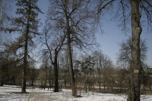 двухсотлетние липы и лиственницы Ивановского