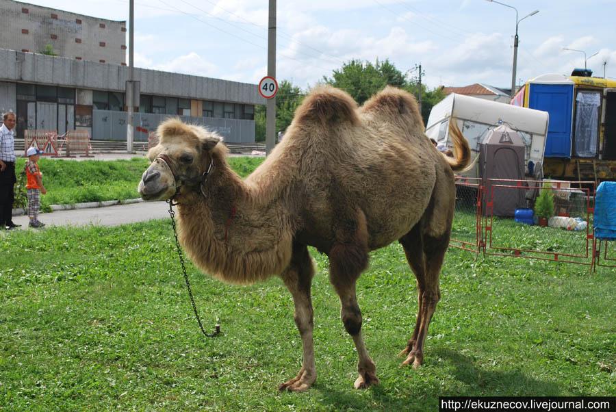 Ирбит. Верблюд.