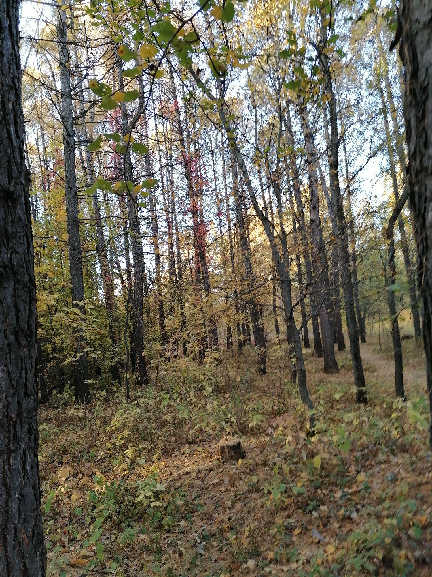 лиственницы почти осыпались, обычно тут темно