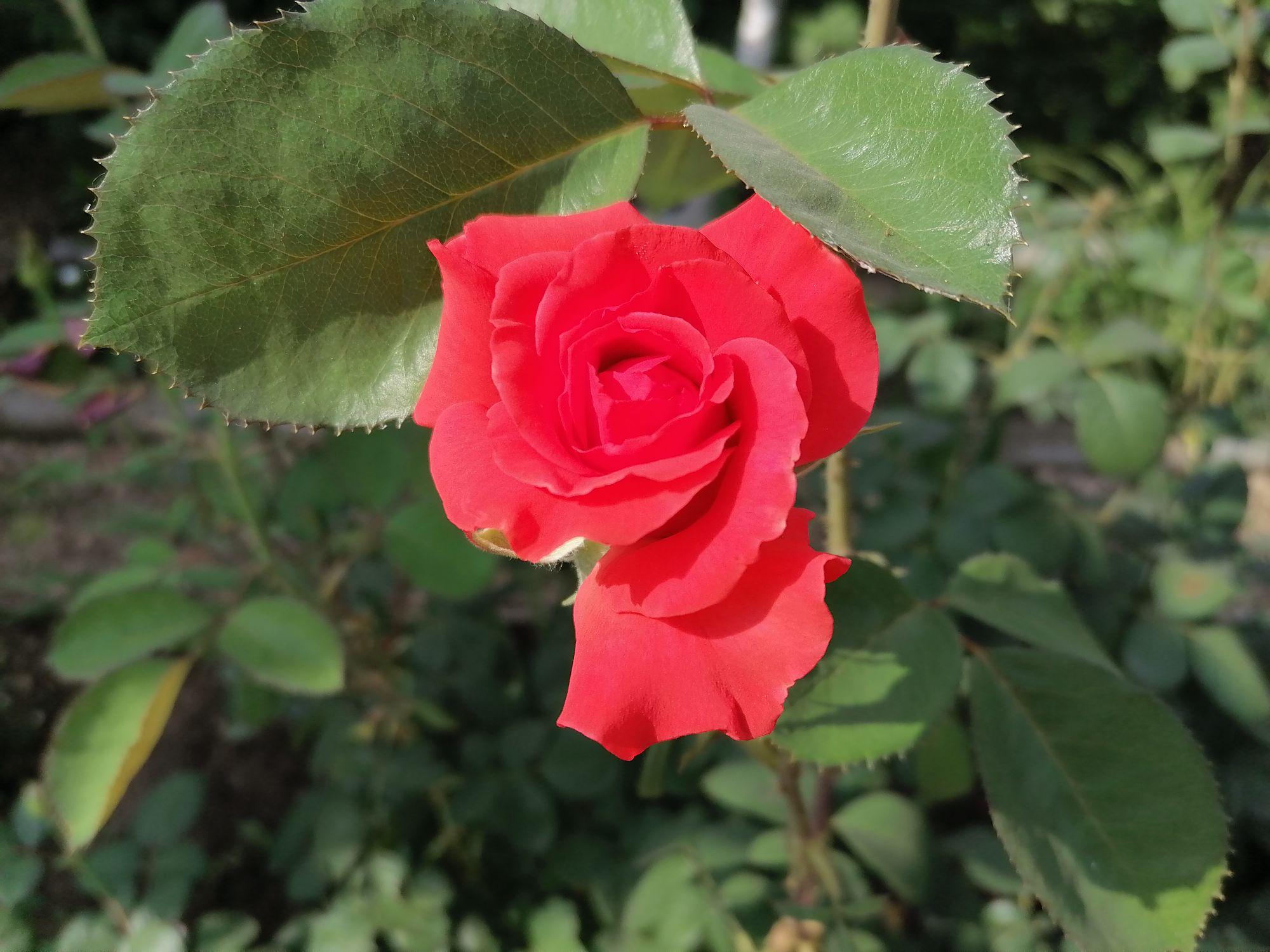 Мамина любимая роза