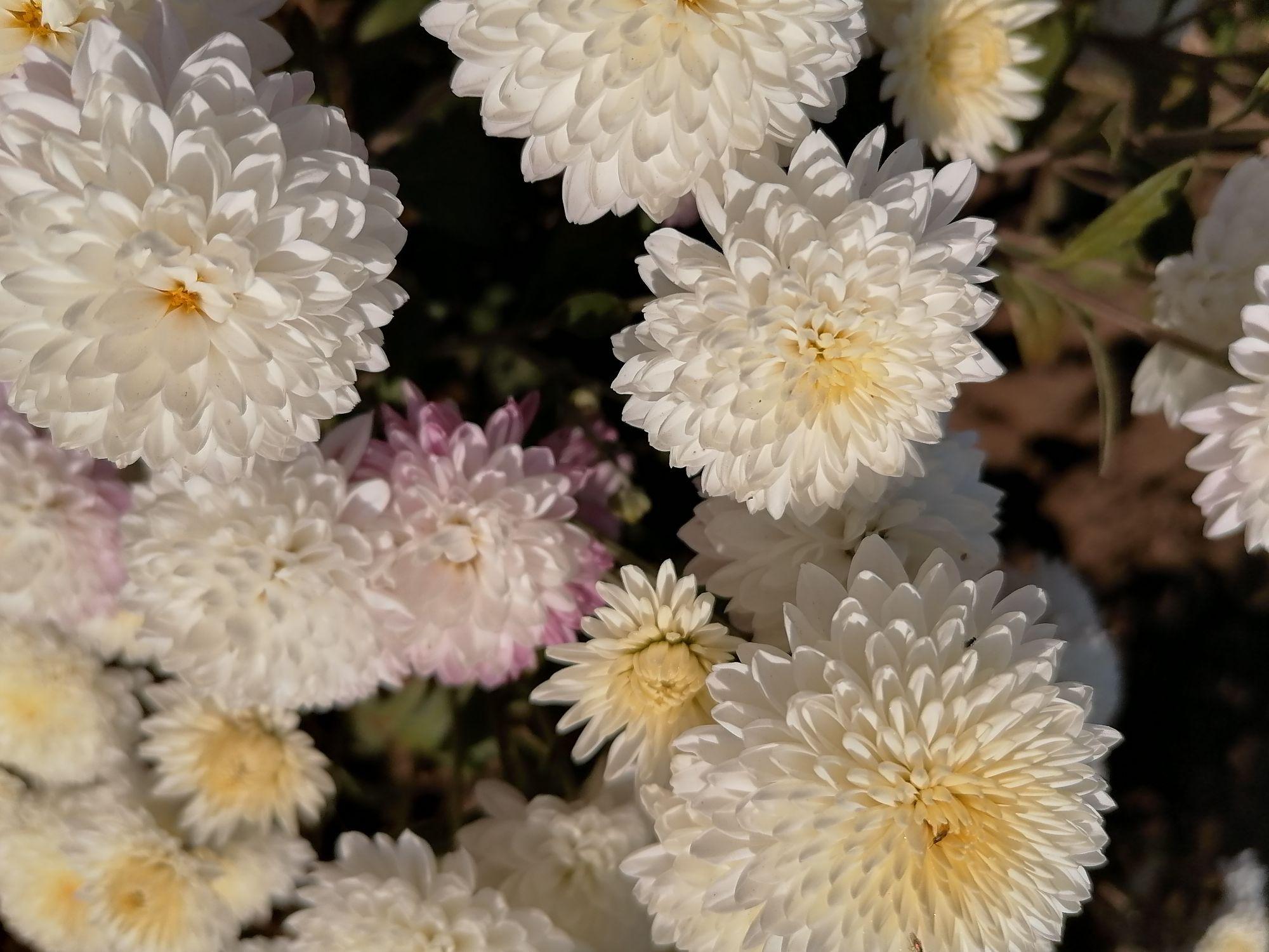 Нежные белые хризантемы с розоватыми лепестками