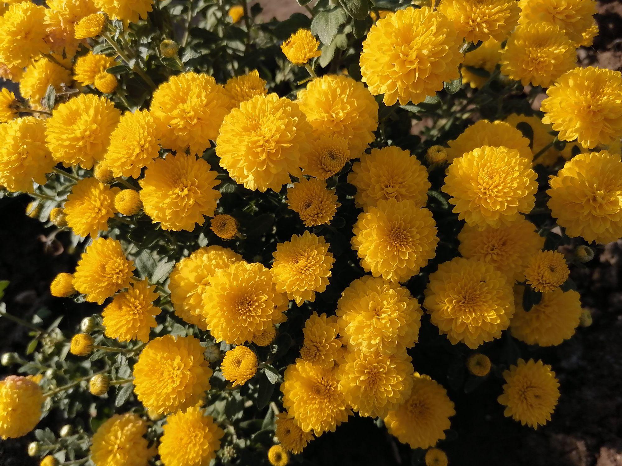 Жёлтые, каждый цветок похож на маленькое солнце