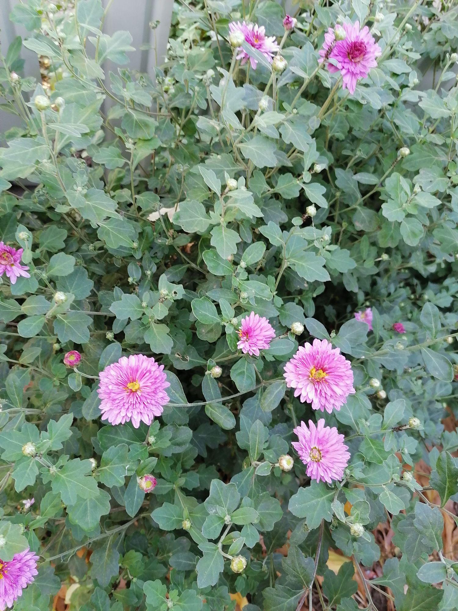 Светлые розовые на длинных стеблях. Стройные, в зелёных листьях. Их запах невесом.