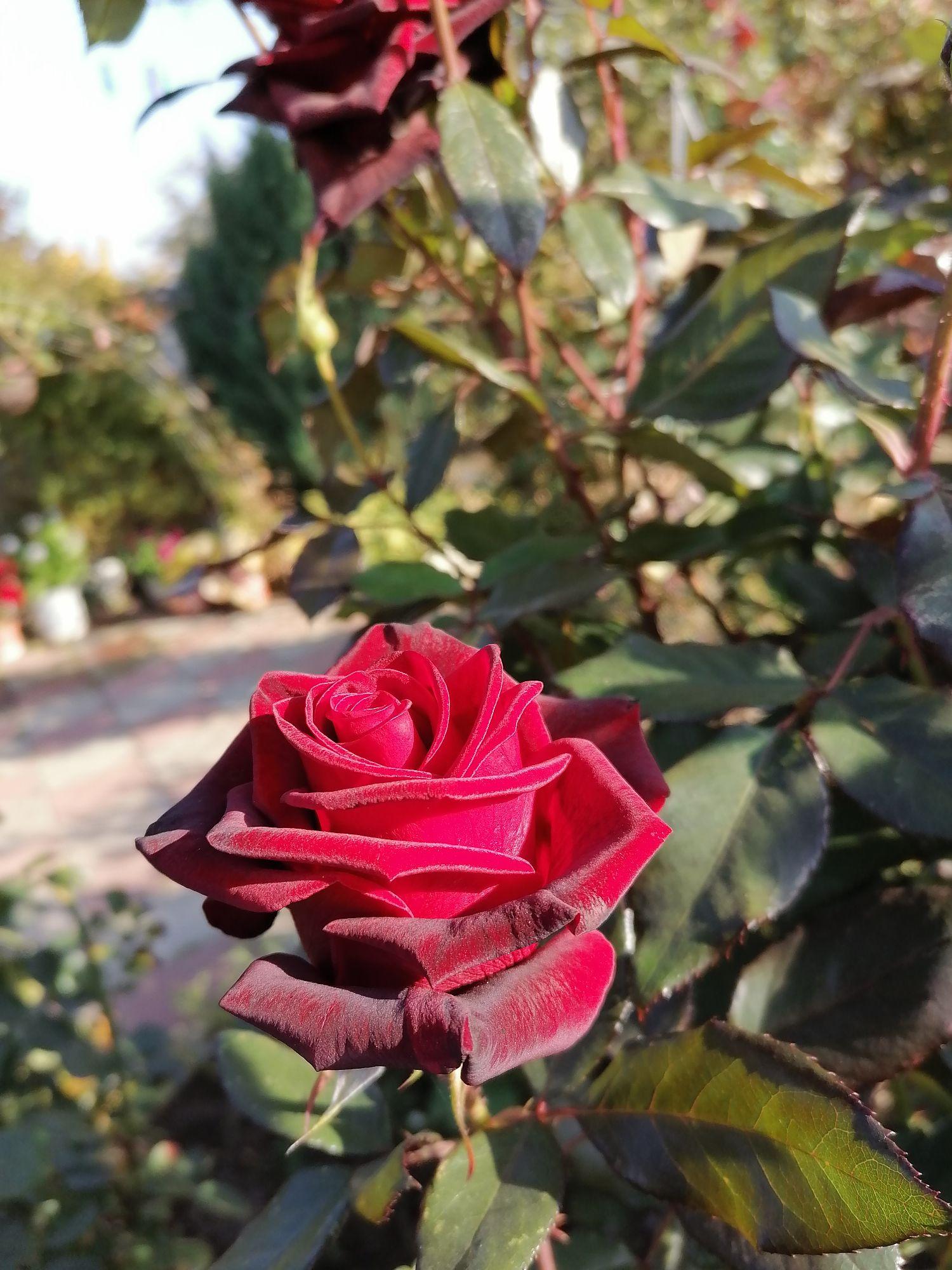 Осенние розы цветут обильно, их уже не разоряют бронзовки. Цветки ровные, идеальные для фото.