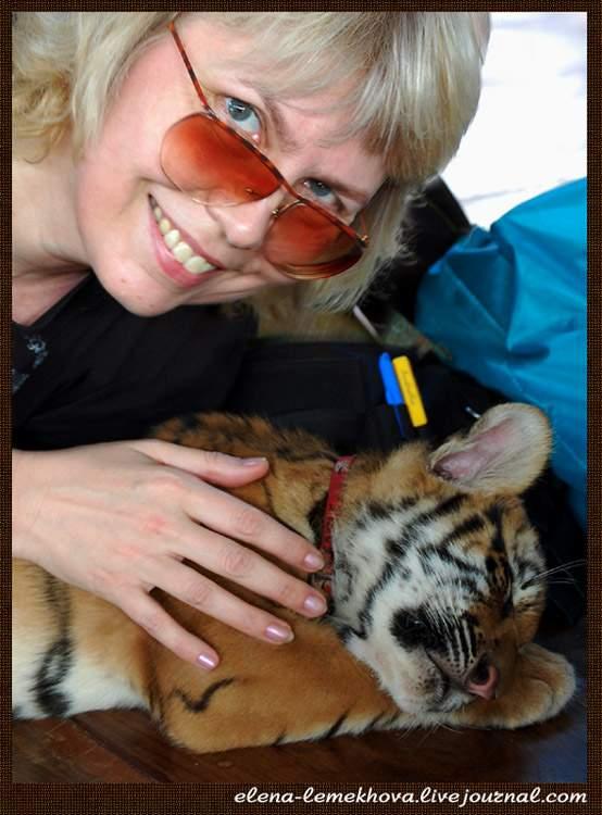 тигры5
