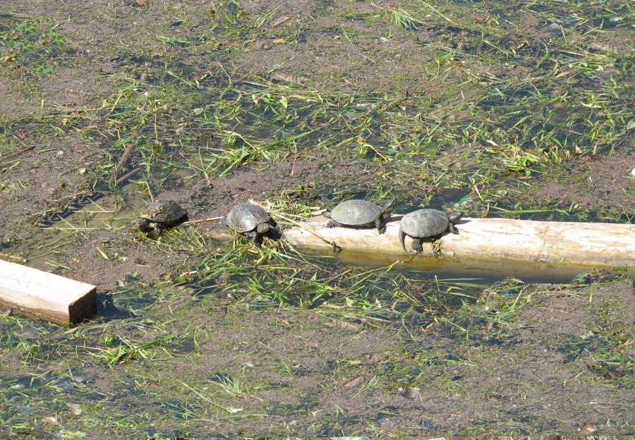 Черепахи