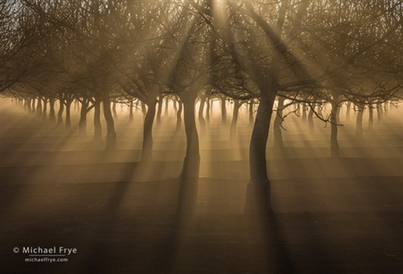 Ansel Adams ORCHARD WITH SUNBEAMS AND FOG