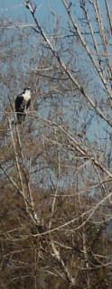 Osprey AKA Fish Eagle
