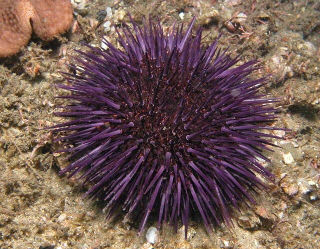 sea-urchin-jpg