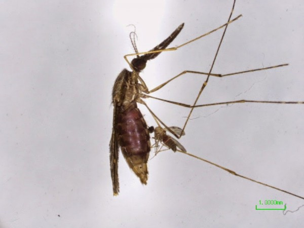 Culicoides anopheles