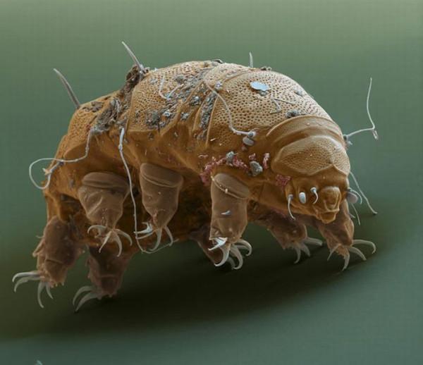 tardigrades_03