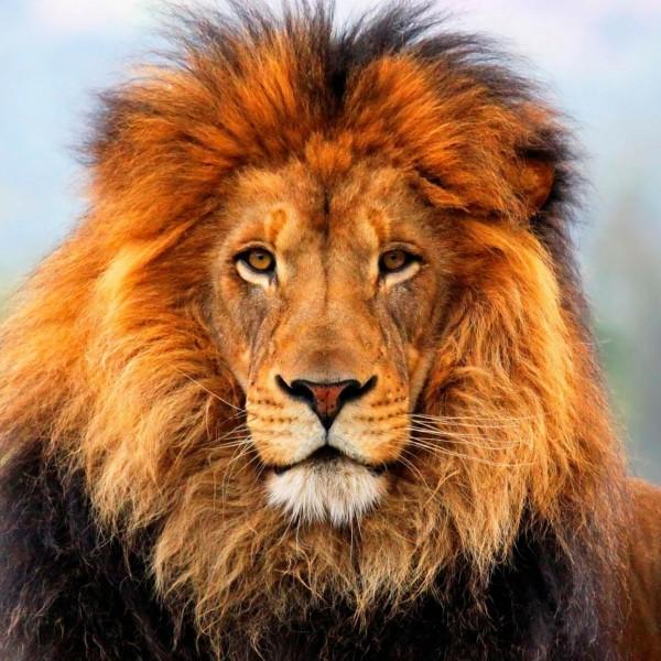 aslan_424377