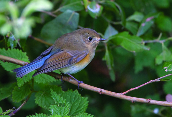 Red-flanked-Bluetail
