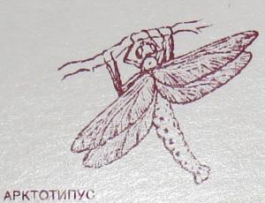 Arctotypus.jpg