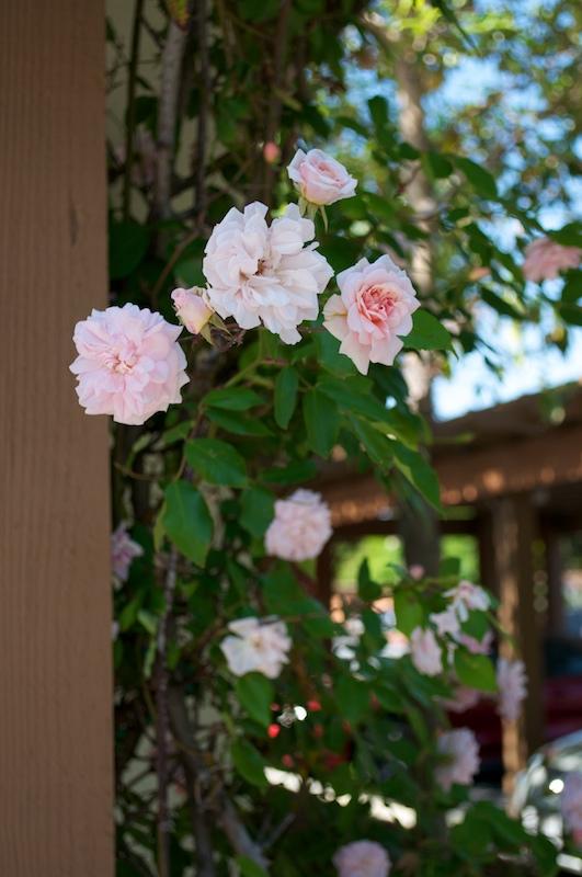 roses 039